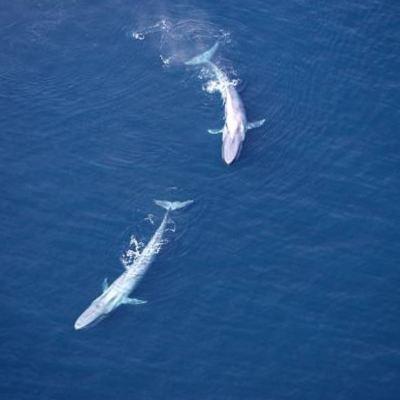 Ballena azul, un gigante del mar que se avista mejor en México