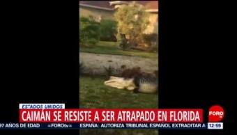 Caimán gira y gira para no ser capturado en Florida