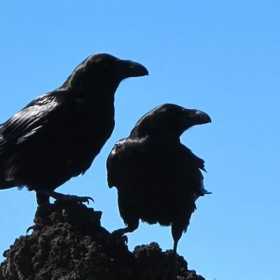 Cuervos contagian emociones a sus compañeros: Estudio
