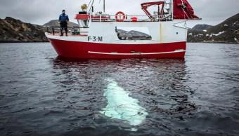 Foto: Una ballena beluga con un arnés militar ruso pasa junto a un barco de pesca frente a la costa de Noruega. El 29 de abril de 2019