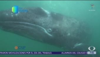 Gigantes del mar, la ballena gris en la península de Baja California