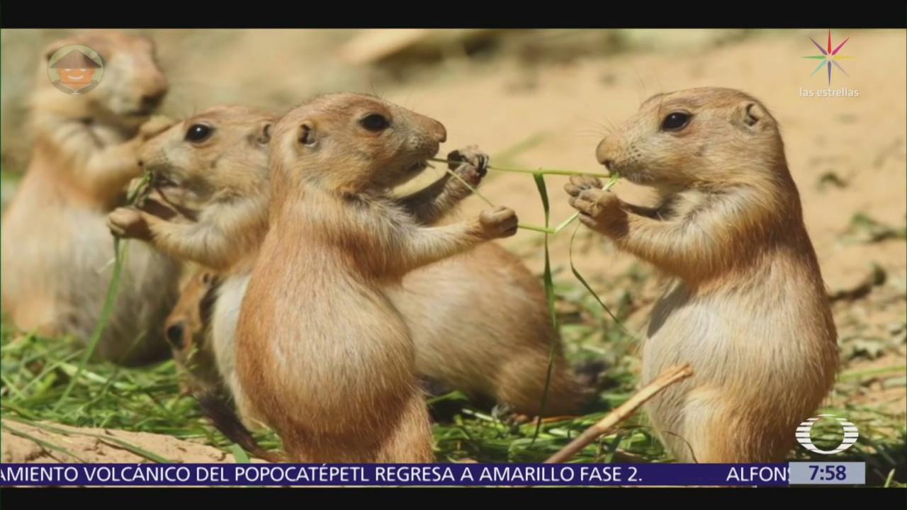 Perrito de la pradera, especie en peligro de extinción