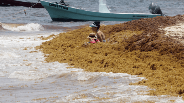 FOTO Sargazo regresa al Caribe mexicano y aumentará, según expertos (EFE 2 mayo 2019 quintana roo)