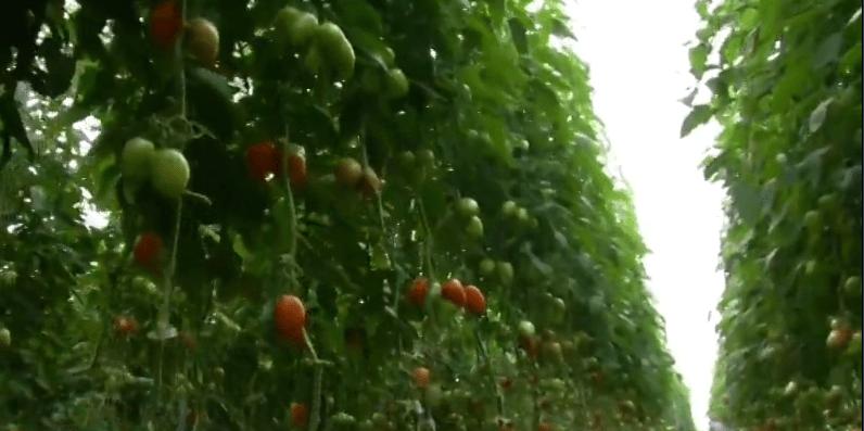 FOTO México busca nuevo acuerdo para exportación de tomate a EU (FOROtv mayo 2019)