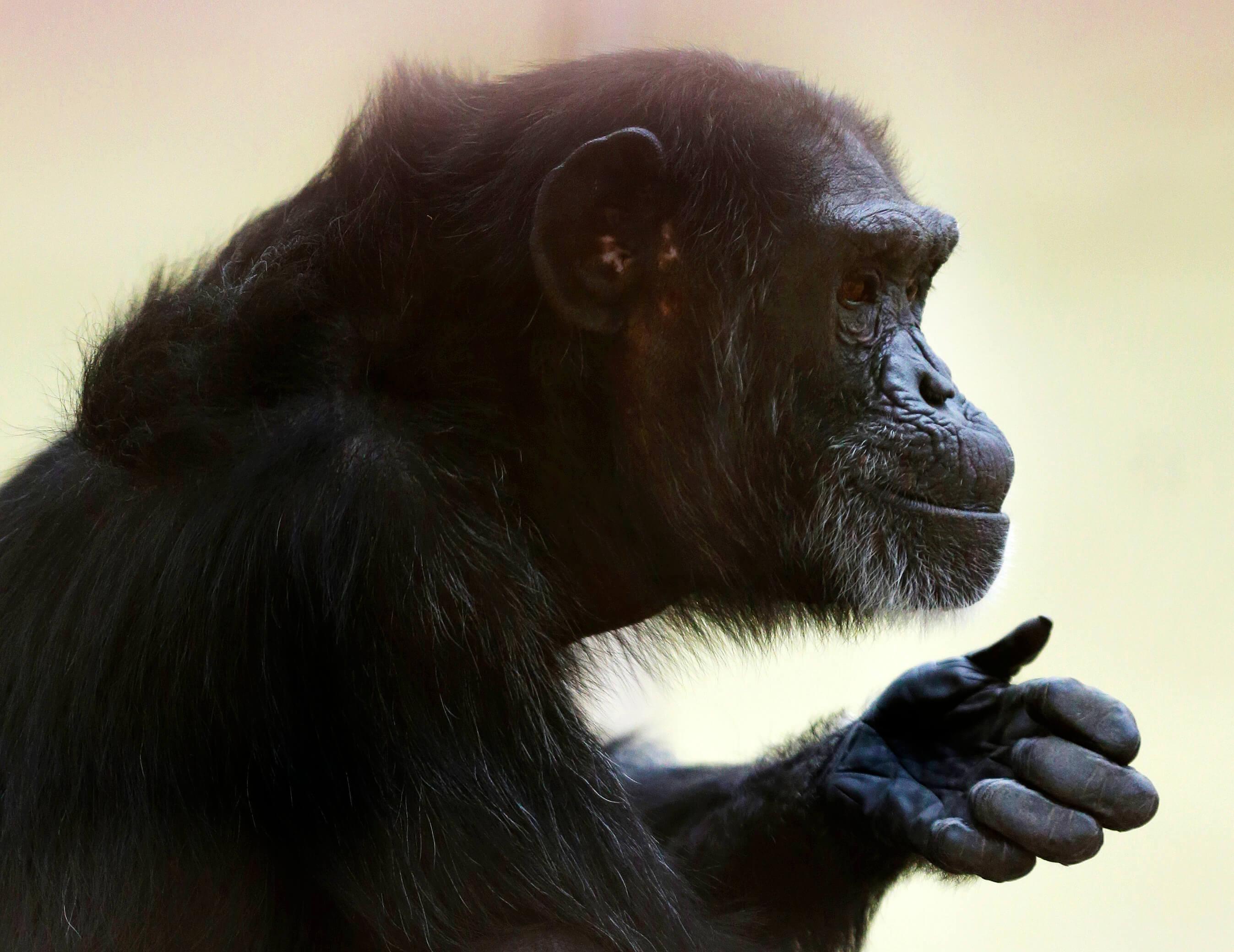FOTO Tortugas, botana para chimpancés en naturaleza (AP septiembre 2016 estados unidos)