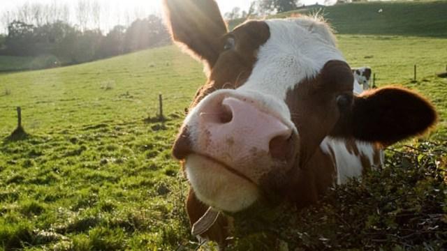 Polonia indulta a 180 vacas que pastaban en libertad desde hace años