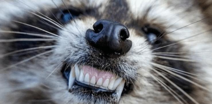 Zombies en Chicago: Son mapaches con moquillo (ABC7)