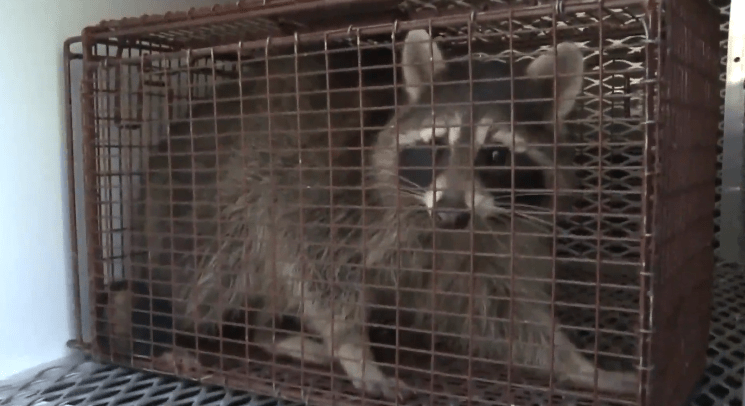 FOTO Zombies en Chicago: Son mapaches con moquillo (FOX 17 mayo 2019 illinois)