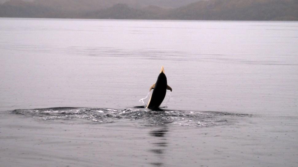 FOTO delfin liso chile 11 JUNIO 2019