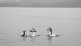 foto Captan primeras fotografías de delfines lisos en Chile 11 junio 2019