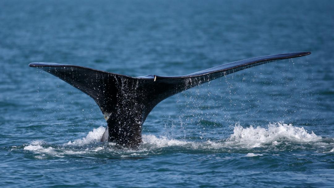 foto Japón reanuda caza comercial de ballenas después de 30 años 30 junio 2019
