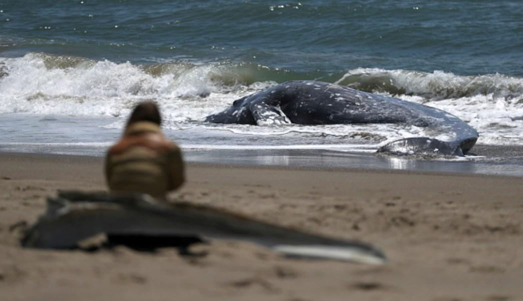 EEUU se queda sin espacio para ballenas muertas