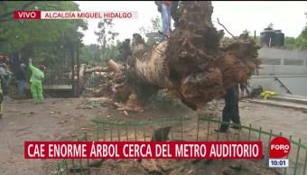Cae enorme árbol en salida de Metro Auditorio, sobre Reforma