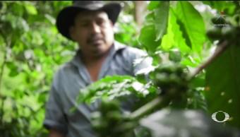 Foto: Caída Precio Café Aumento Migración Guatemalteca 24 Junio 2019