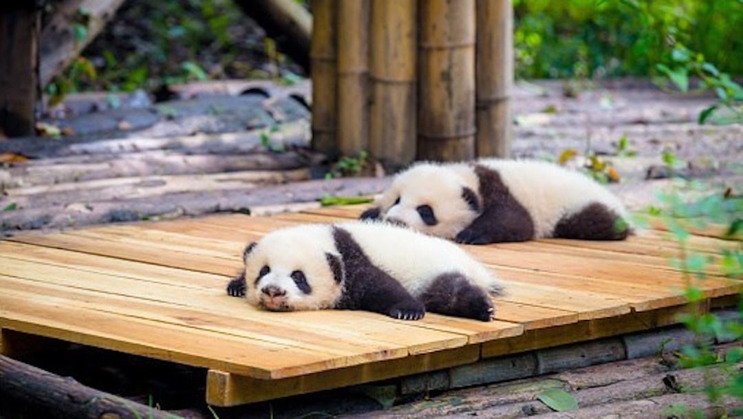 Foto Nacimiento y desarrollo de pandas gemelos da esperanza de vida a la especie 16 junio 2019