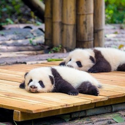Nacimiento de pandas gemelos, promesa de supervivencia para la especie