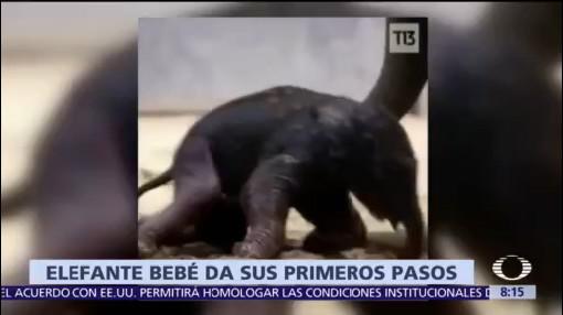 En video, captan primeros pasos de elefante bebé