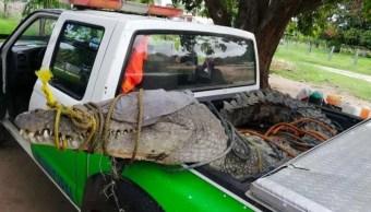 Foto: Un cocodrilo de más de tres metros y medio de longitud fue capturado en la comunidad de Río Grande, Oaxaca, 26 junio 2019