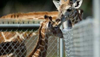 Foto: Dos jirafas del Lion Country Safari en West Palm Beach, Florida, EEUU. El 4 de noviembre de 2011
