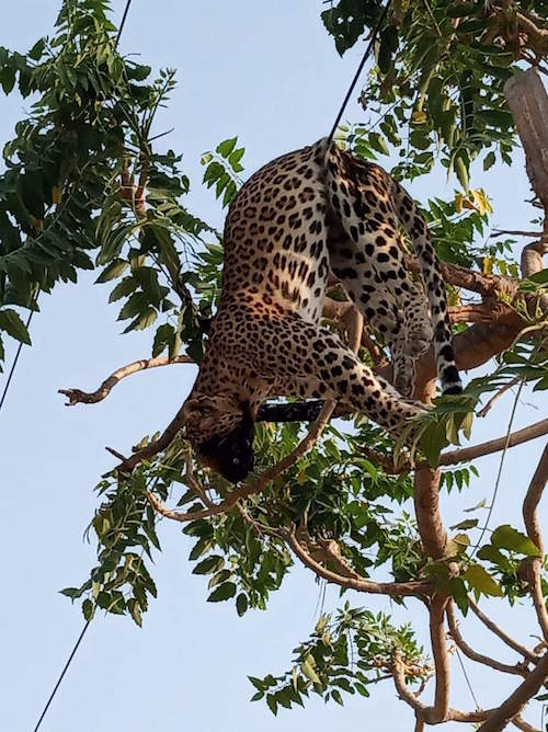 Foto Leopardo Electrocutado 22 Junio 2019