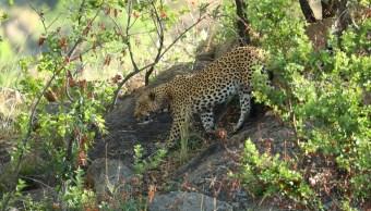 Foto: Leopardo en el Parque Nacional Pilanesberg, 11 de noviembre de 2017