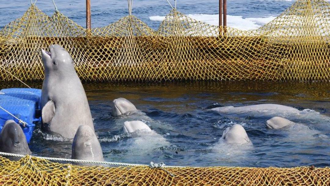 Foto: Rusia libera a los primeros cetáceos de la 'cárcel de ballenas', 20 junio 2019