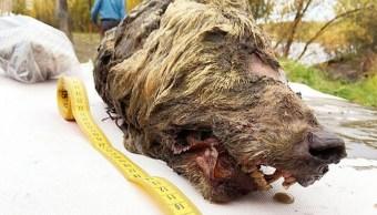 Foto: La cabeza tiene 40 cm de largo y es mucho más grande que la de un lobo actual, 13 junio 2019