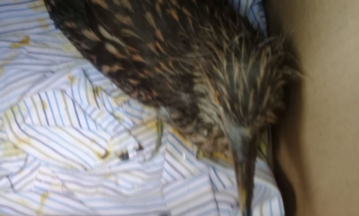 Foto: El ave fue trasladada a la alcaldía Xochimilco para recibir atención médica, el 15 de junio de 2019 (Twitter @UCS_GCDMX)