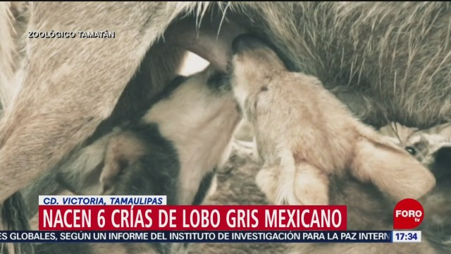 Foto: Nacen crías de lobo mexicano en Tamaulipas