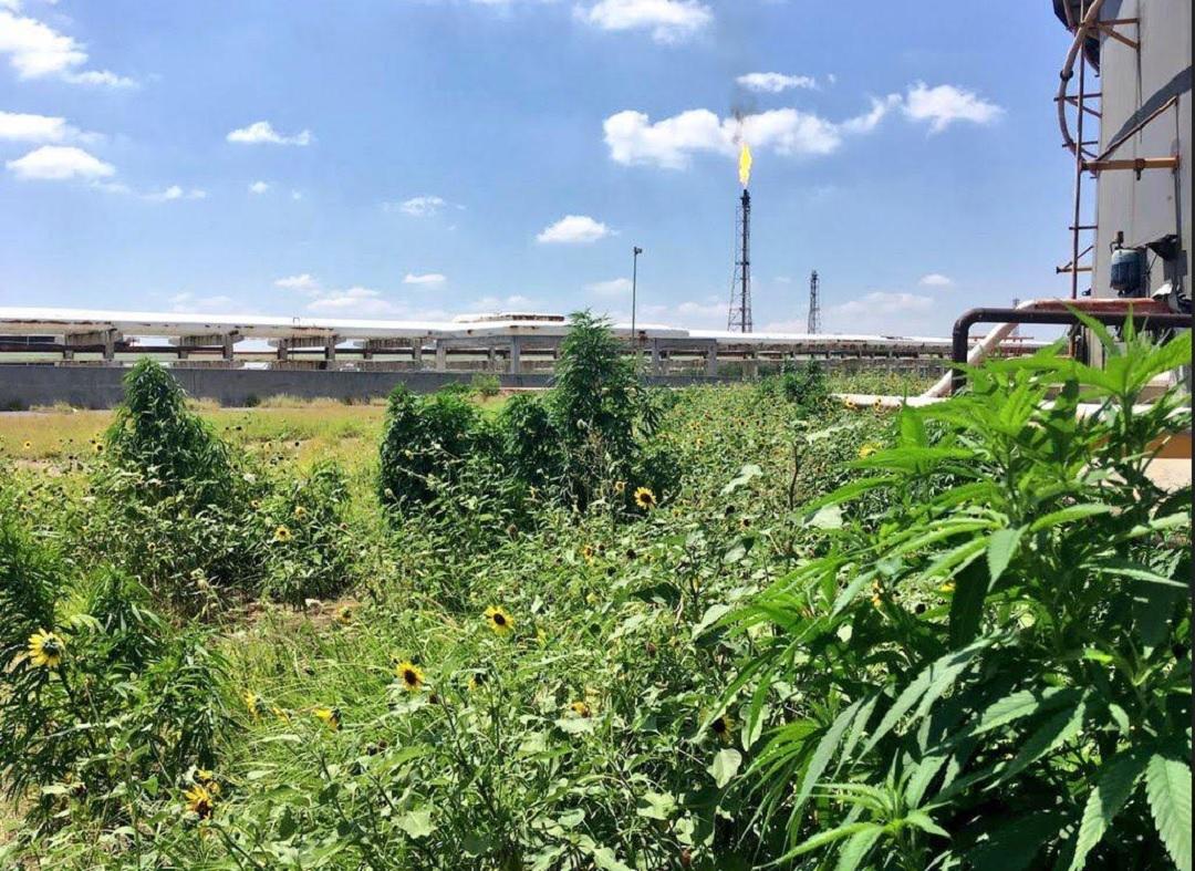 Foto: hallan varias plantas de marihuana en refinería de Cadereyta, 17 de junio 2019. Noticieros Televisa