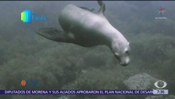 Por el Planeta: Lobos marinos habitan isla de San Pedro Nolasco, en Sonora