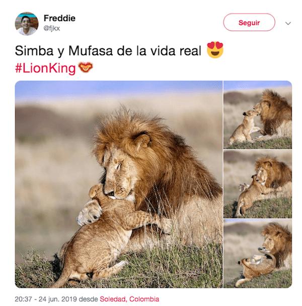 Foto Mufasa y Simba sí existen; así fueron captados en la vida real 25 junio 2019