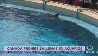Canadá aprueba ley que prohíbe explotar a ballenas en acuarios
