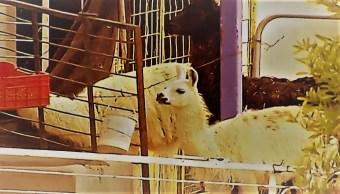 Animales de circo que trasladaron a Hidalgo viven en muy malas condiciones