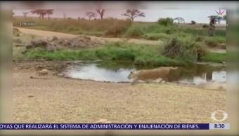 Antílope hace finta y se salva de leona