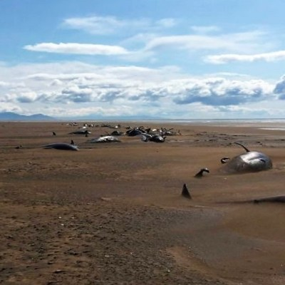 Encuentran muertas 50 ballenas piloto varadas en playa de Islandia