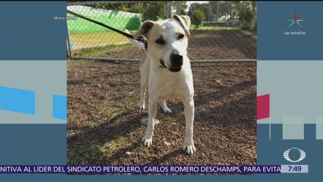 Buscan hogar para 20 perros rescatados en Metro CDMX