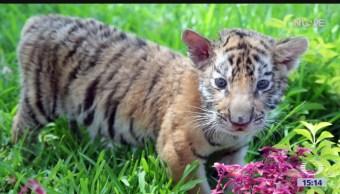 Cachorros de tigre de bengala, nuevos inquilinos en zoológico La Pastora, Nuevo León