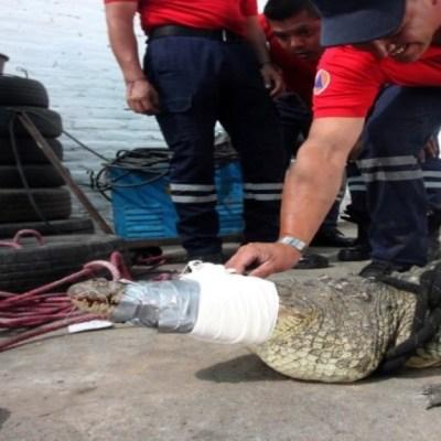 Capturan a cocodrilo que caminaba en calles de Irapuato, Guanajuato