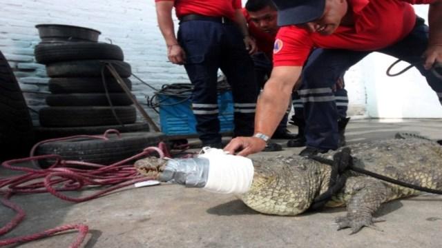 Foto Capturan cocodrilo de más de dos metros en Irapuato, 26 julio 2019