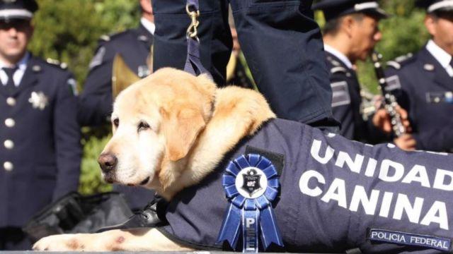 Tras nueve años de servicio, las y los oficiales caninos son puestos en adopción. Policía Federal