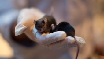 foto Virus procedente de roedores mantiene alerta en Bolivia 4 julio 2019