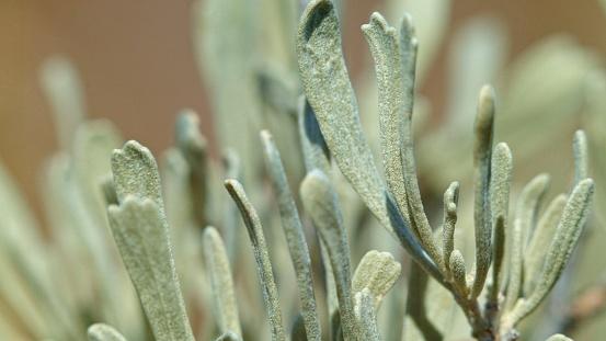 foto Artemisia tridentata