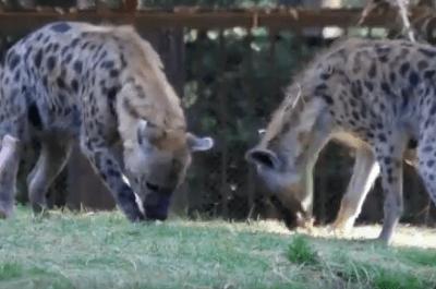 Nacen cachorros de hiena en el Zoológico de Chapultepec