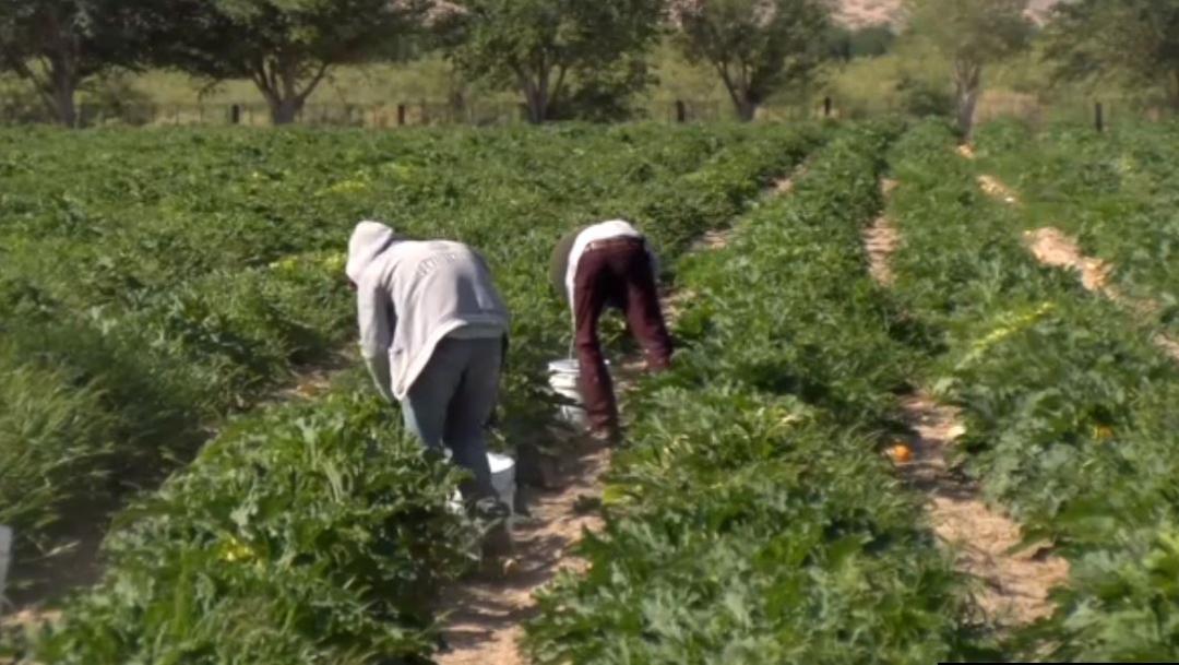 Foto: Esta temporada, los agricultores de Samalayuca, Chihuahua consiguieron una buena producción, 20 de julio de 2019 (Noticieros Televisa)
