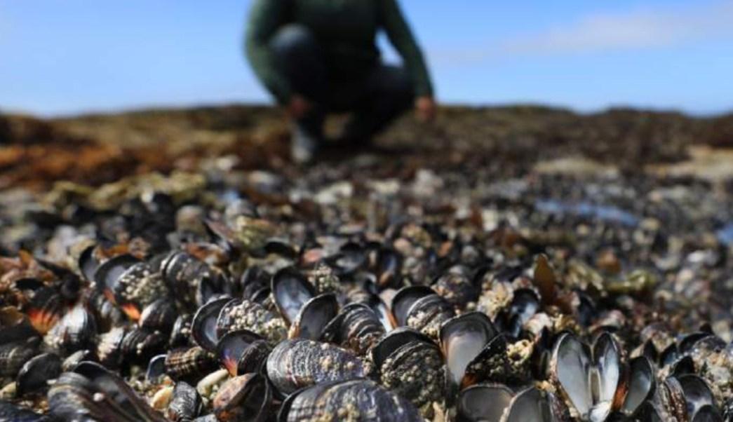 FOTO Mejillones se cocinan en rocas de Bodega Bay, California, por el calor (Kent Porter/The Press Democrat)
