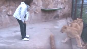 Foto Video: Mujer entra a jaula de leones y recibe agresiva bienvenida 3 julio 2019