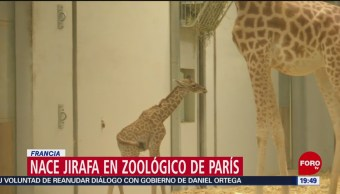 FOTO: Nace jirafa en zoológico de París, Francia, 6 Julio 2019