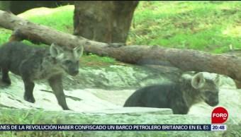 Foto: Nacen Dos Cachorros Hiena Moteada Zoológico De Chapultepec 19 Julio 2019