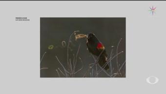 Foto: Audubon Fotografías Ganadoras Aves Espectaculares 30 Julio 2019